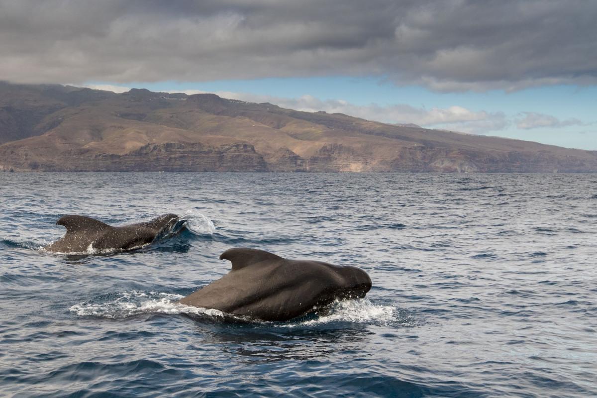 Nachhaltig Delfine und Wale beobachten vor La Gomera
