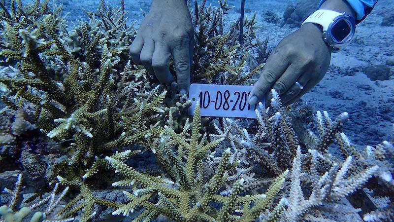 Tauchurlaub Korallen Aufforstung