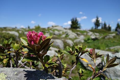 Blüten in den Alpen