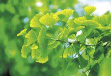 Neue Kräfte mit Naturmedizin: Zurück zur Natur mit Ginseng und Ginkgo