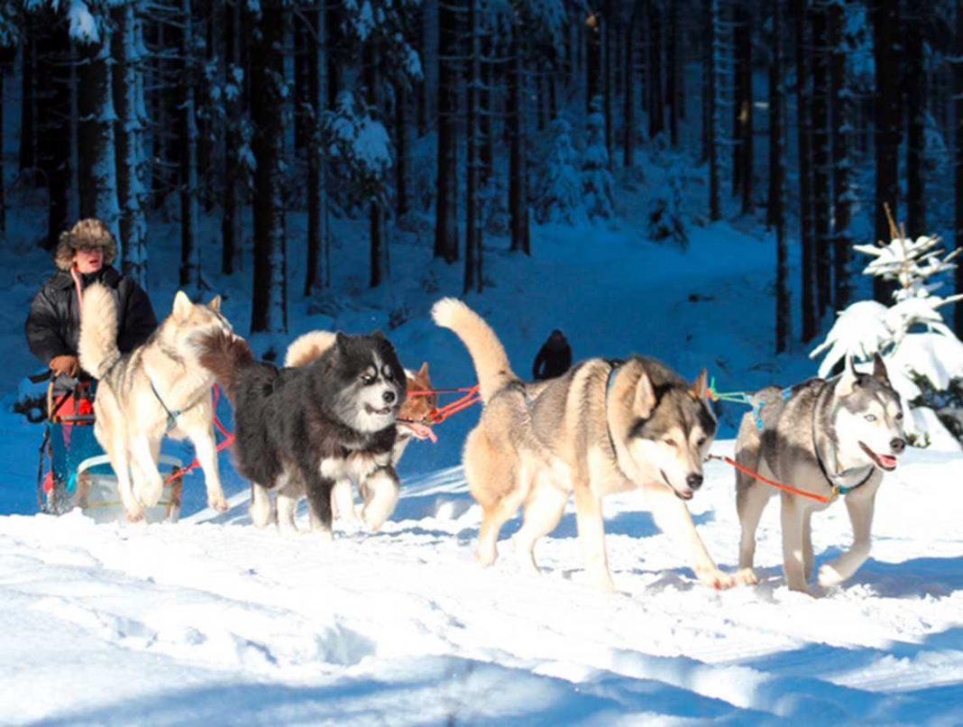 Mit Huskies und Schlitten durch den Thüringer Wald