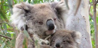 Wild Koala Day: Nachwuchs in Victoria