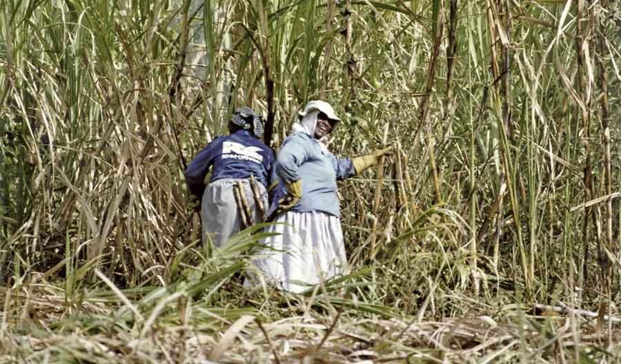 Mauritius Zuckerrohrfelder