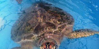 Queensland: Grüne Meeresschildkröten schützen und beobachten