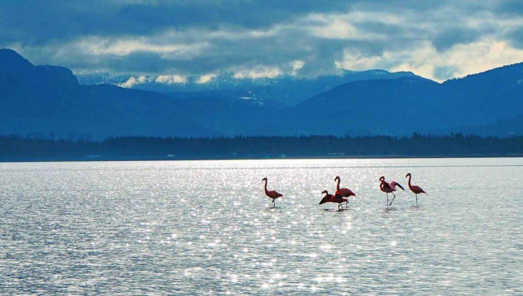Rosa Wunder: Flamingos am Chiemsee