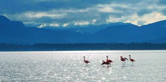 Rosa Wunder: Flamingos am Chiemsee