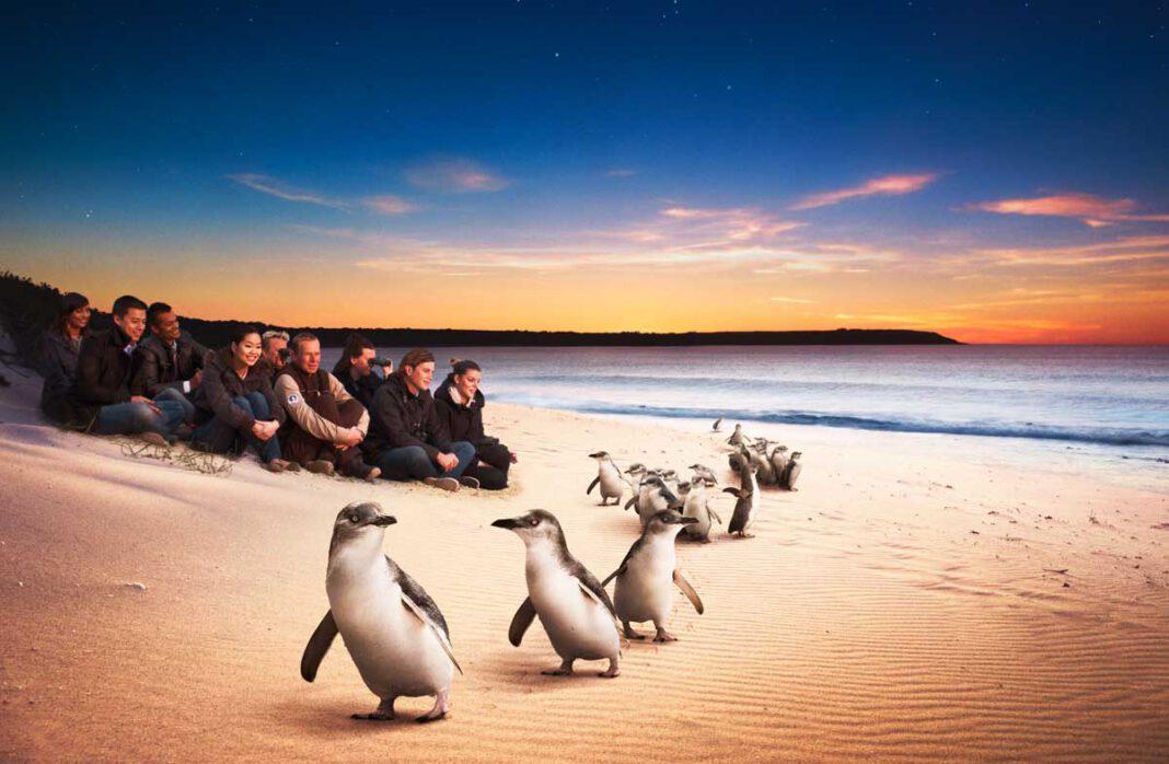 Phillip Island: Zwergpinguine bei der Pinguin Parade hautnah erleben